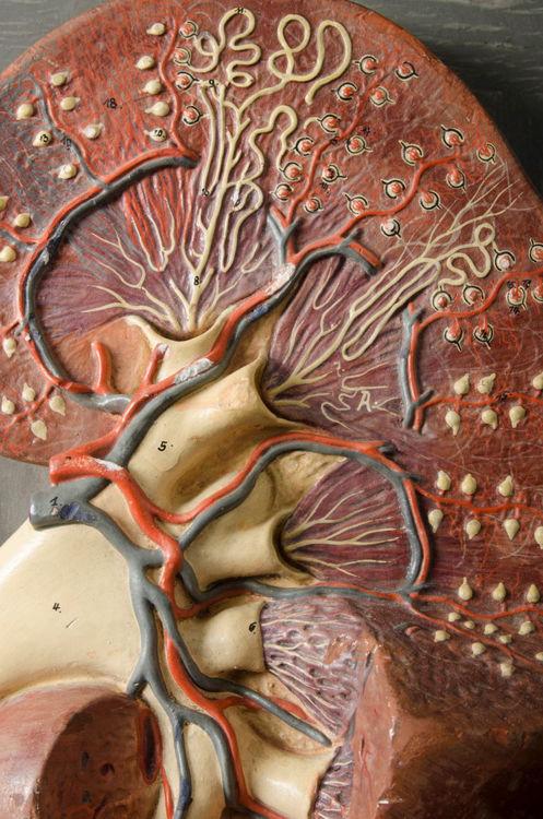 Picture of Kidney Medical Model