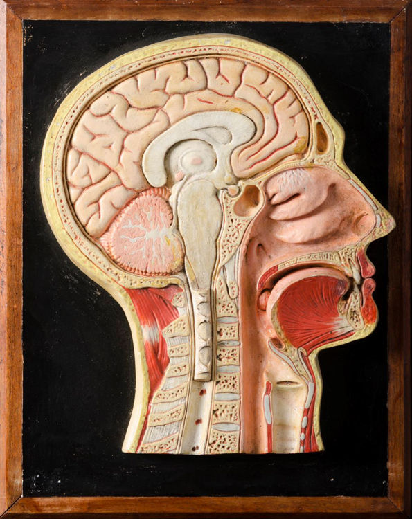 Picture of Head Medical Model